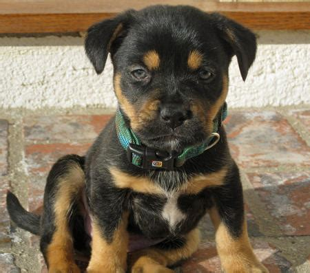 pitbull and rottweiler mix puppies juno the rottweiler mix puppies daily puppy