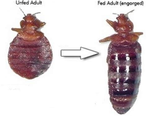 bed bug size comparison pictures of what bed bugs look like photos of bed bug bites