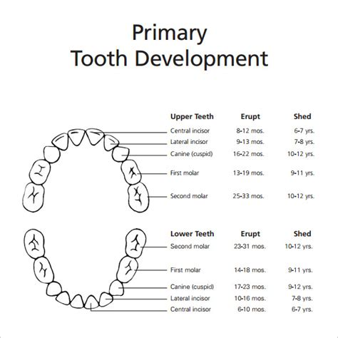teeth chart template sle baby teeth chart 5 documents in pdf