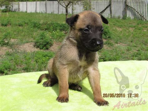 belgian malinois puppies for sale in belgian malinois puppies for sale in echo belgian malinois puppy for sale puppy