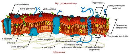 plikcell membrane detailed diagram plsvg wikipedia