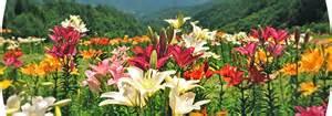oze iwakura lily garden