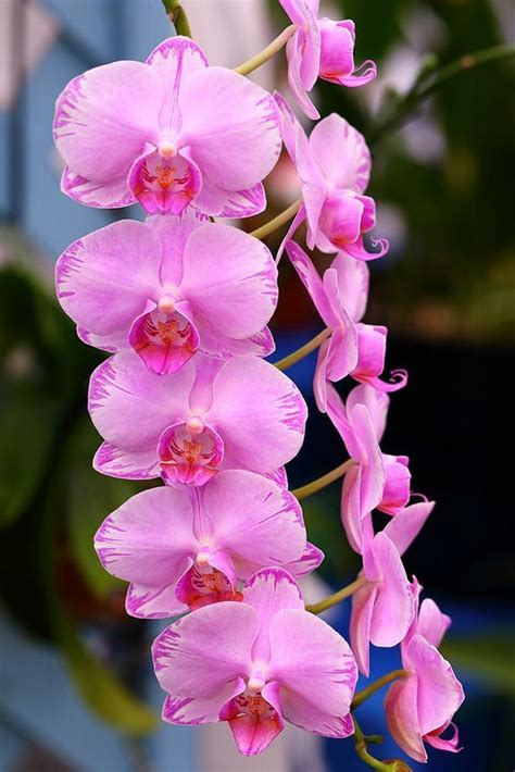 orchid plant how to grow care phaleonopsis