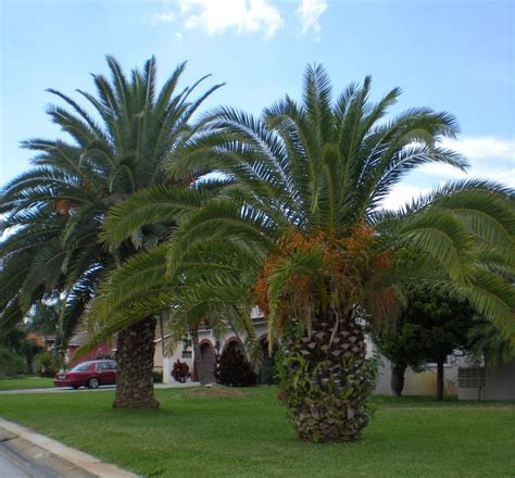 palm tree types family pinterest palm tree types and