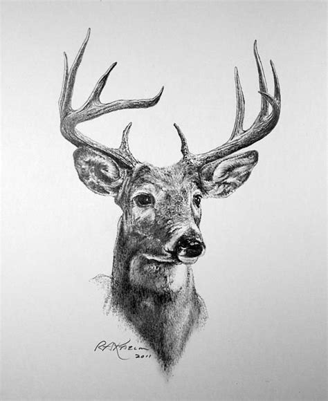 drawn buck charcoal drawing pencil and in color drawn