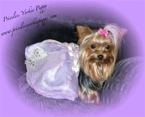 priceless yorkie puppy priceless yorkie puppy image search results