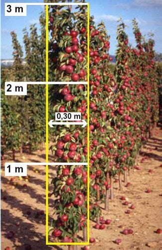 edible forest gardening  plant  mini orchard  columnar  cordon trees  partners
