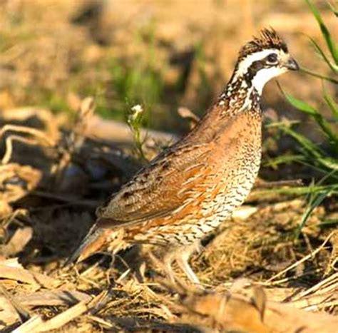 quails eat modern farming methods