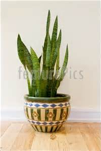 Potting Indoor Plants photo of indoor potted snake plant