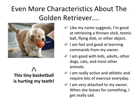 golden retriever behaviors goldie s golden retriever