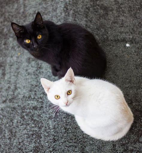 imagenes en blanco y negro gato im 225 genes de gatos blancos y negros unidos los colores