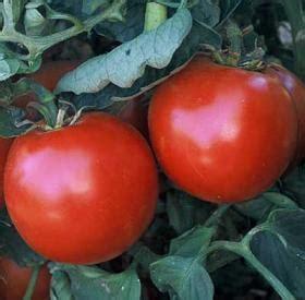abraham lincoln tomato heirloom tomato seeds 26 tomatoes vegetable seeds