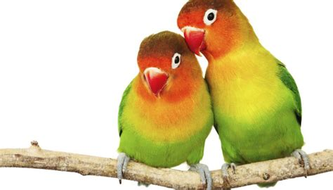 mexicanlove bird difference between lovebirds parrotlets animals me