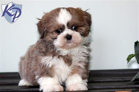 shih tzu puppies for sale in pittsburgh pa 17 best images about shih tzu puppies on duke sweet and petunias