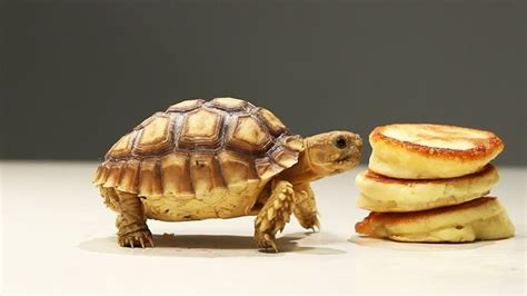 can dogs eat pancakes tortoises try tiny pancakes 1funny
