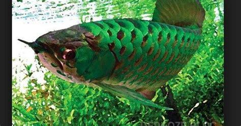 Anakan Arwana Green Pino arwana pino green pino arowana dan cara merawatnya