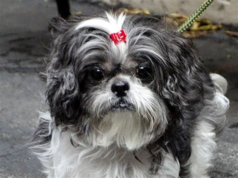 shih tzu rescue ny pin by anneliese galiano on pet adopt and rescue