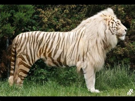 cat hybrid image gallery hybrid big cats