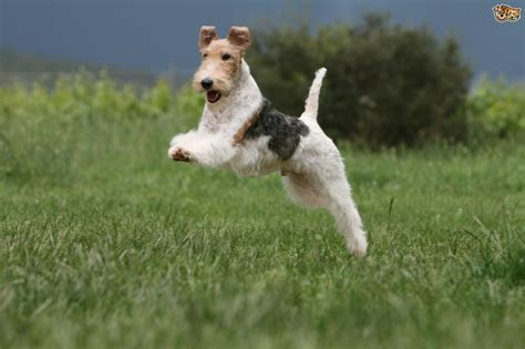 can foxes and dogs breed some popular wirehaired breeds pets4homes