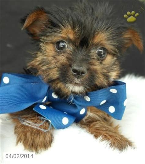 yorkie puppies in ohio pin ohio terrier rescuejpg on