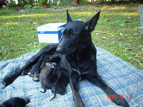 Silinde Shoo For Dogs Mink s canine pregnancy puppy information 1 week to 1 month