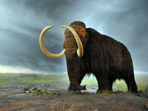 mammoth images woolly mammoth autopsy and cloning business insider