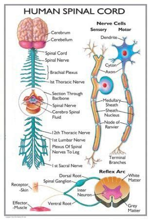 diagram of the spinal cord spinal cord diagram health medicine and anatomy