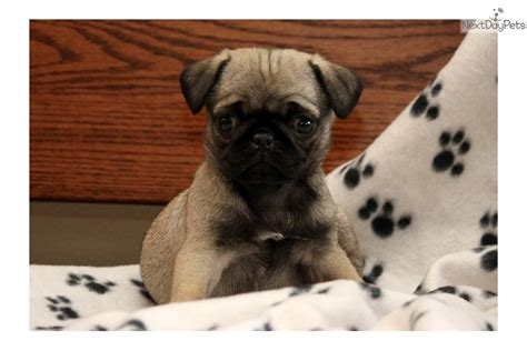 pug puppies near me pug puppy for sale near lancaster pennsylvania ae3bc5ef 8f11