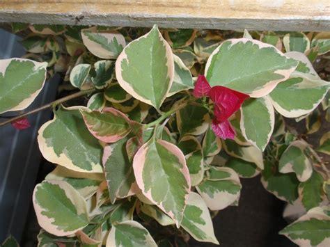 tropical plants chicago 10 best shrub images on shrub
