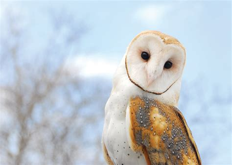 Owl Maxy By Dans this is all you need to about barn owls