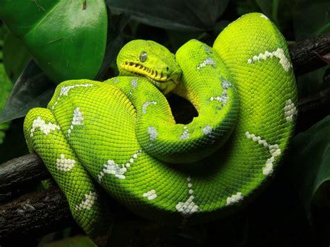 snake green tree python animal reptiles hd photo