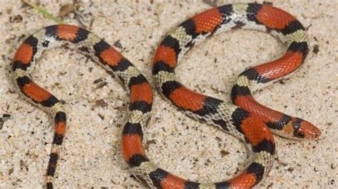 megan coral park ridge nj what s the rhyme to help you know if a snake is poisonous