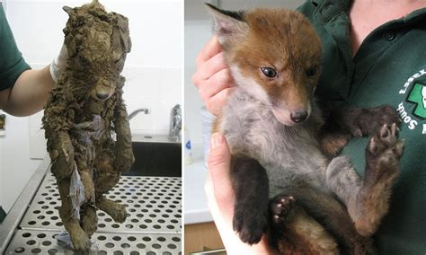 young fox rescued  deep mud  urban building site