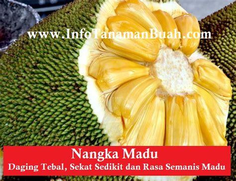 Bibit Nangka Madu jual bibit nangka madu info tanaman buah