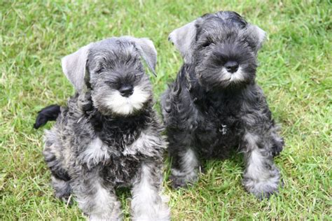 miniature schnauzer puppies for sale florida miniature schnauzer puppies for sale this dapper fellow is feisty petland