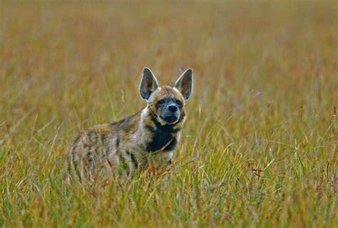 are hyenas dogs blackbucks pelicans striped hyenas at gujarat s velavadar national park nat geo