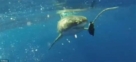 boat engine life hours fishermen laugh as huge great white shark swims up to