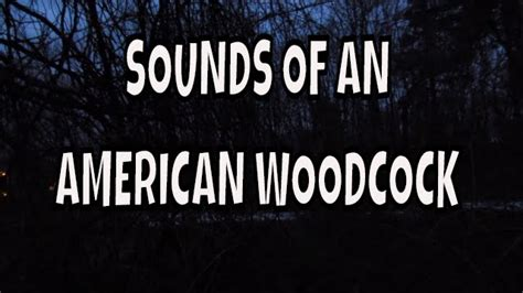 An American Sounds Of An American Woodcock