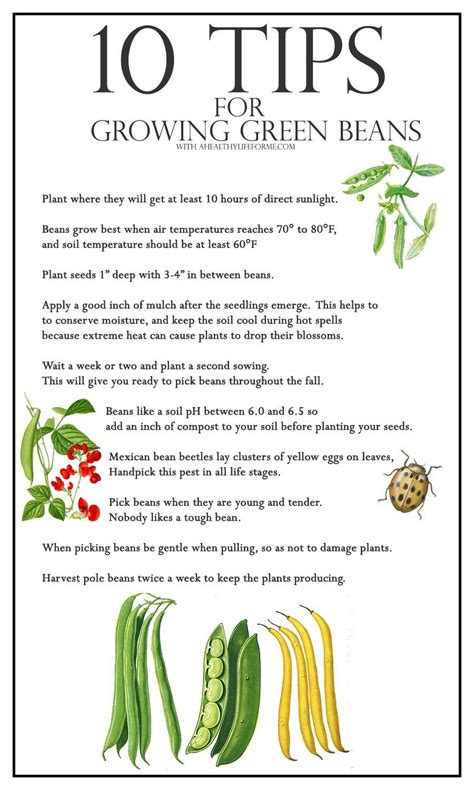 10 tips for growing green beans a healthy life for me