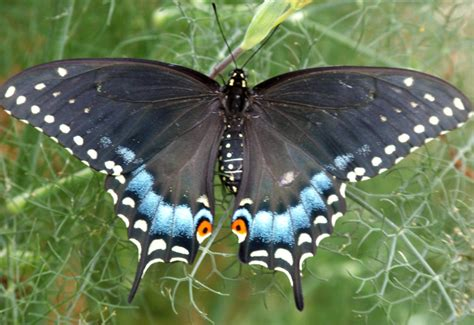 black swallowtail butterfly black swallowtail life cycle what s that bug