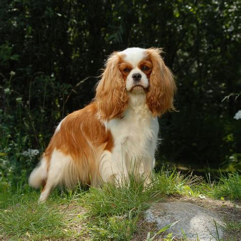 spaniel breeds pictures of the different spaniel breeds breeds picture