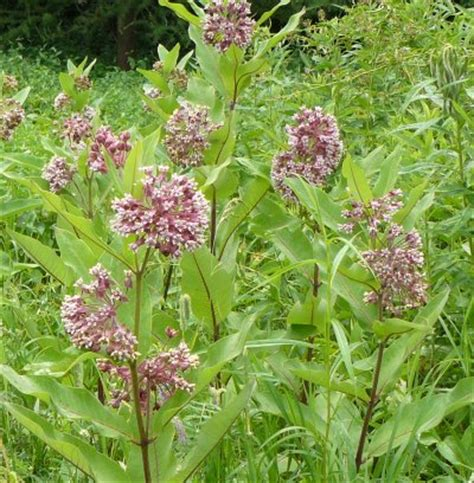 growing common milkweed experimenting from seed and