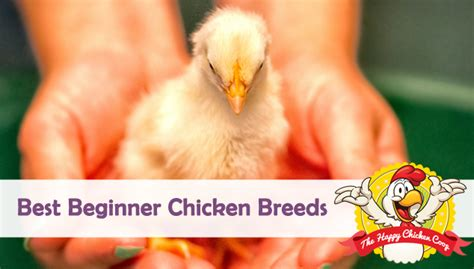 backyard chicken blogs top 10 must read backyard chicken articles of 2015