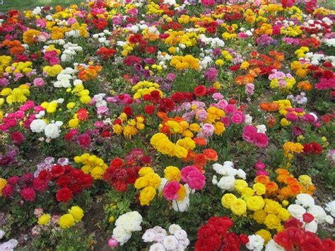 sognare fiori colorati immagini fiori colorati fiori colorati
