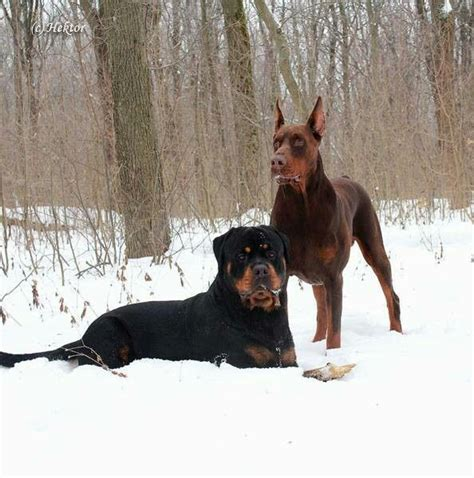 are rottweilers and dobermans related rottweiler and doberman breeds picture