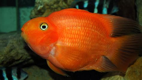Ikan Parrot Ikan Parrot Fish 3840x2400 Wallpapers13