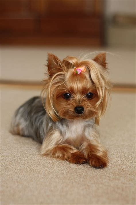 different hair cuts for toy yorkies 15 must see yorkshire terrier haircut pins yorkie