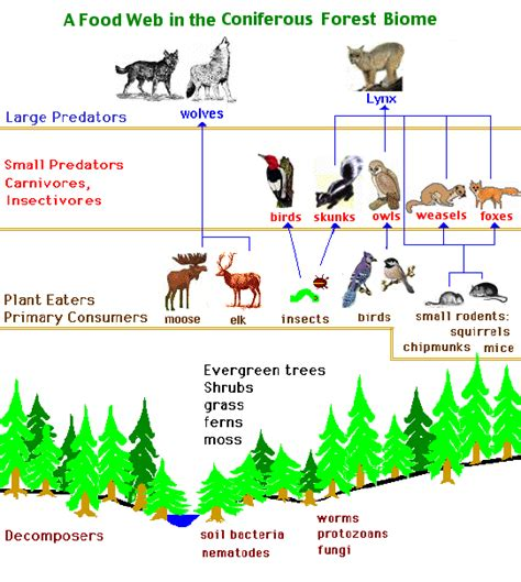 forest food chain diagram food chain in forest ecosystem