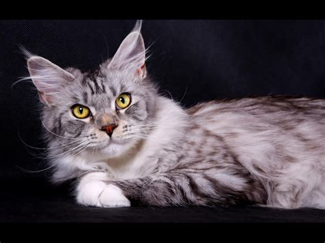 light connection coon lights wallpapers domestic cat maine coon silver