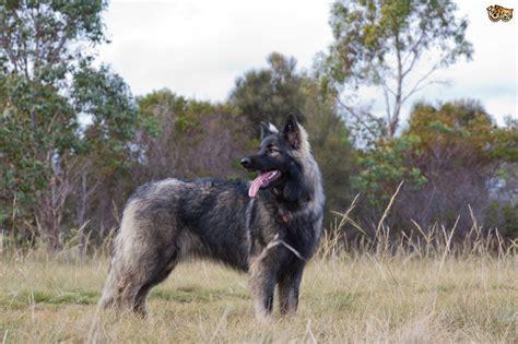 german shepherd breed breeds similar to german shepherd breeds picture